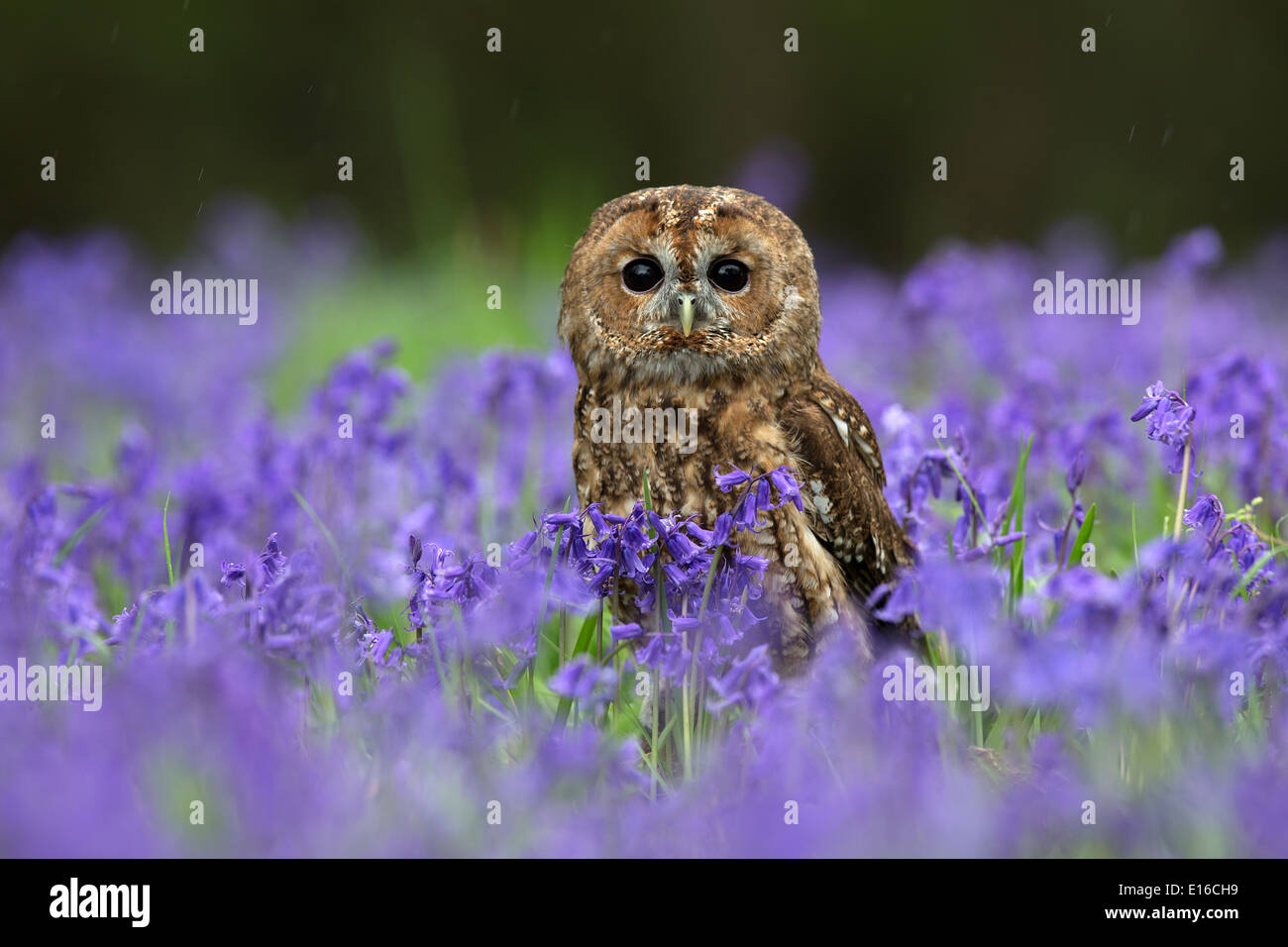 Tawny Owl, Strix aluco sitting in bluebells - Stock Image