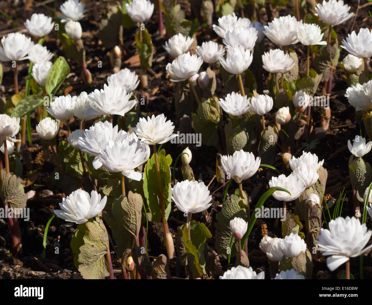 Sanguinaria canadensis, Multiplex, bloodroot, springtime impression from the botanical garden in Oslo Norway - Stock Image