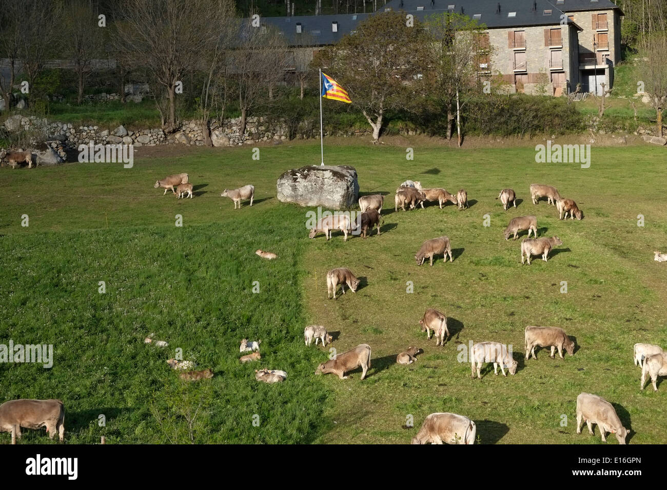 Livestock in Vall de Boi valley in the high Pyrenees, in the Alta Ribagorca region of the Province of Lleida Catalonia Spain - Stock Image