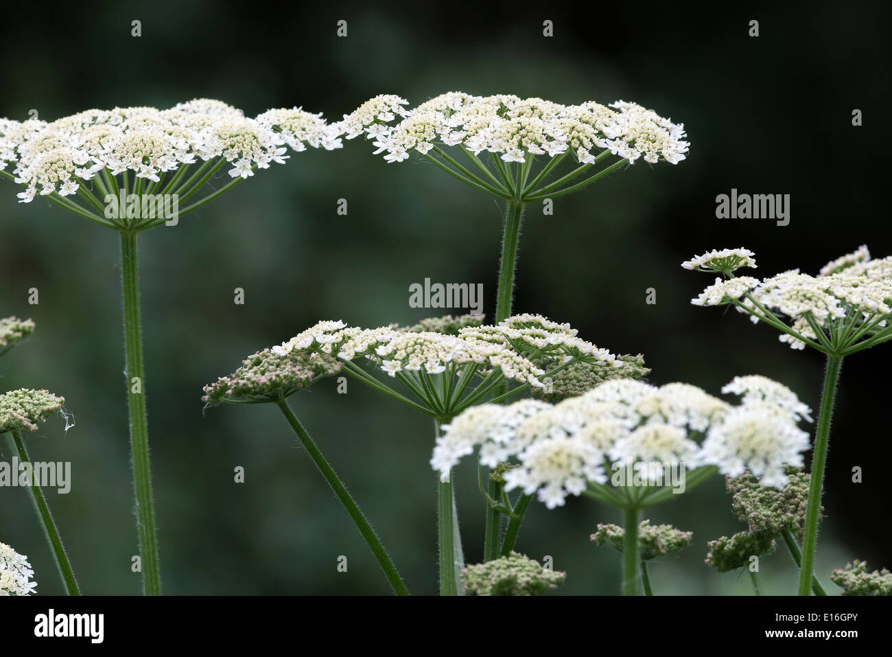 Closeup Of White Wild Chervil Or Cow Parsley Flowers In Woodland At