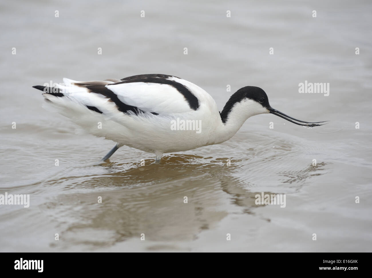 An Avocet (Recurvirostra avosetta) feeding in shallow water. Cley, Norfolk. - Stock Image