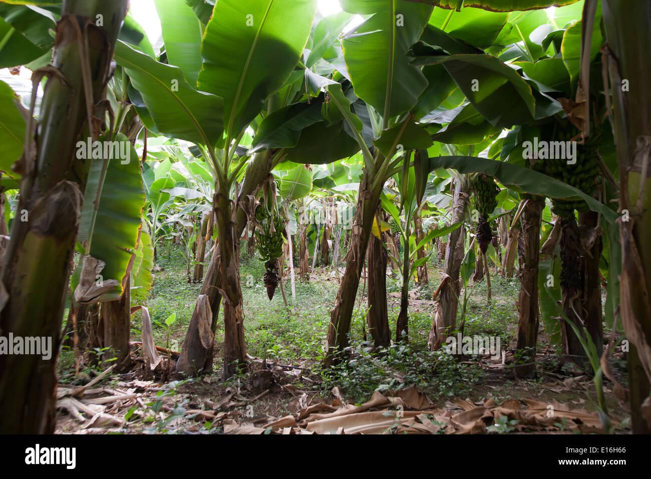 how to grow a banana tree inside