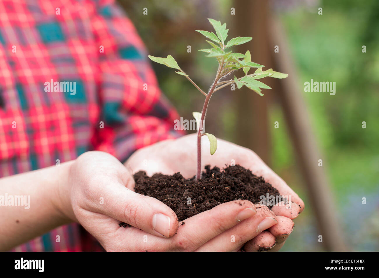 Woman holding young tomato seedling Stock Photo