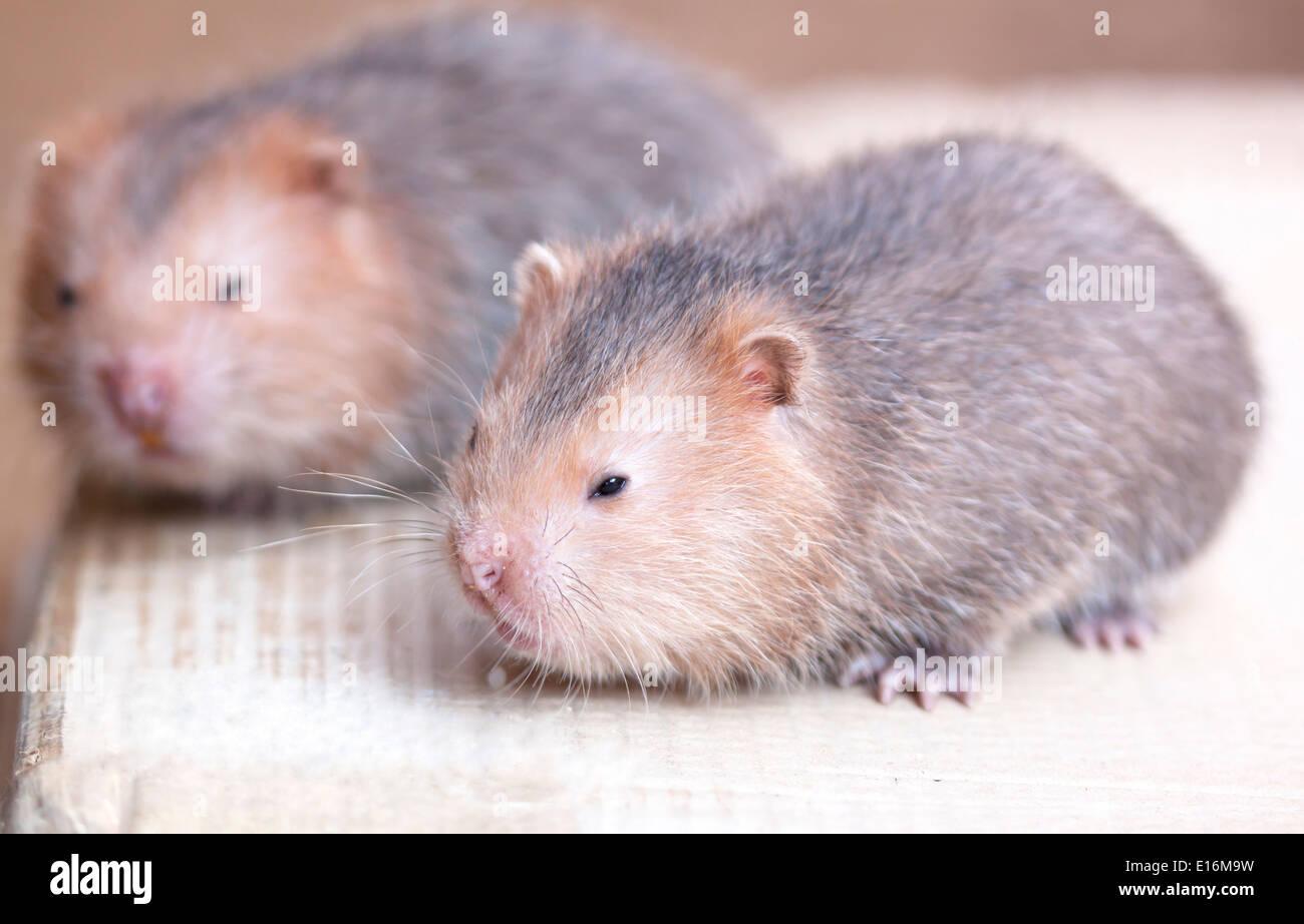 Wildlife species clan rat embryonic mammalian milk. - Stock Image