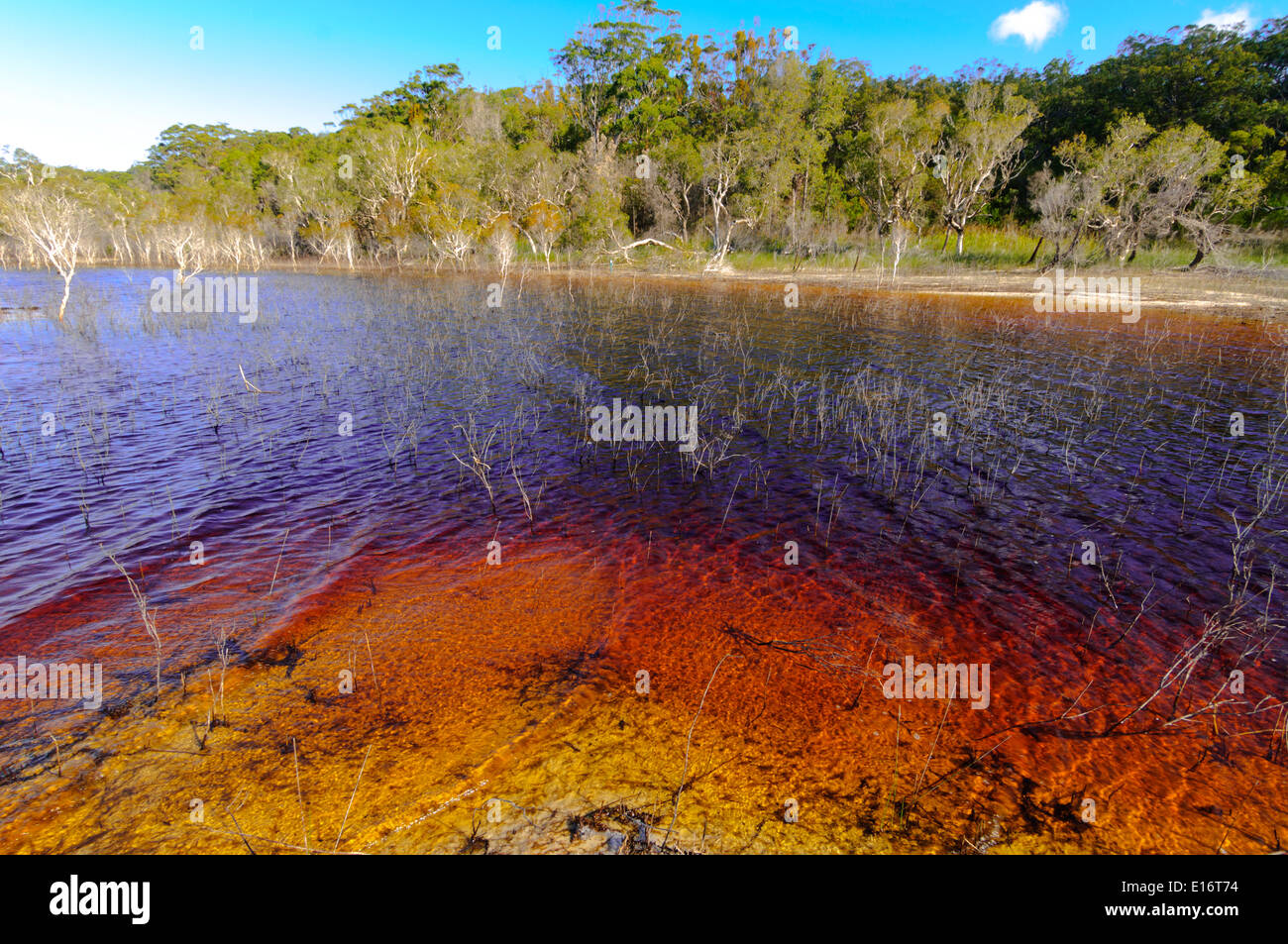 Lake Boomanjin, on Fraser Island, QLD, is fed by creeks passing through a wallum swamp where they collect tannin Stock Photo