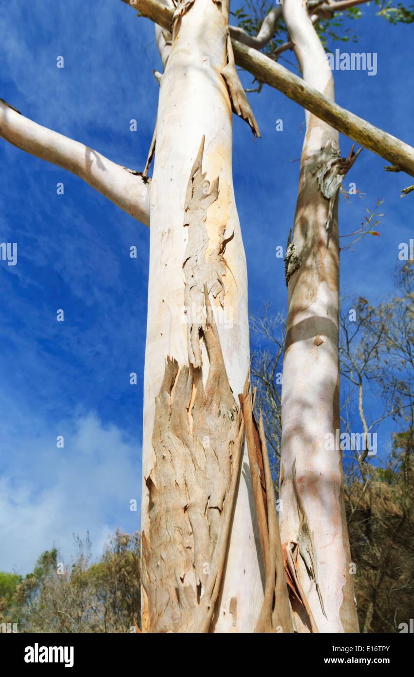 Eucalyptus, Fraser Island, Queensland, QLD, Australia - Stock Image