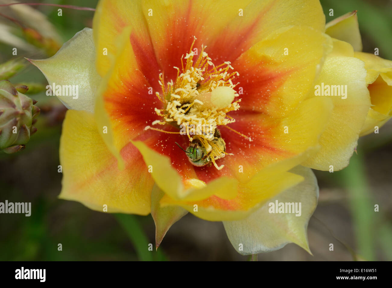 Purple Prickly Pear Cactus wildflower with sweat bee - Stock Image
