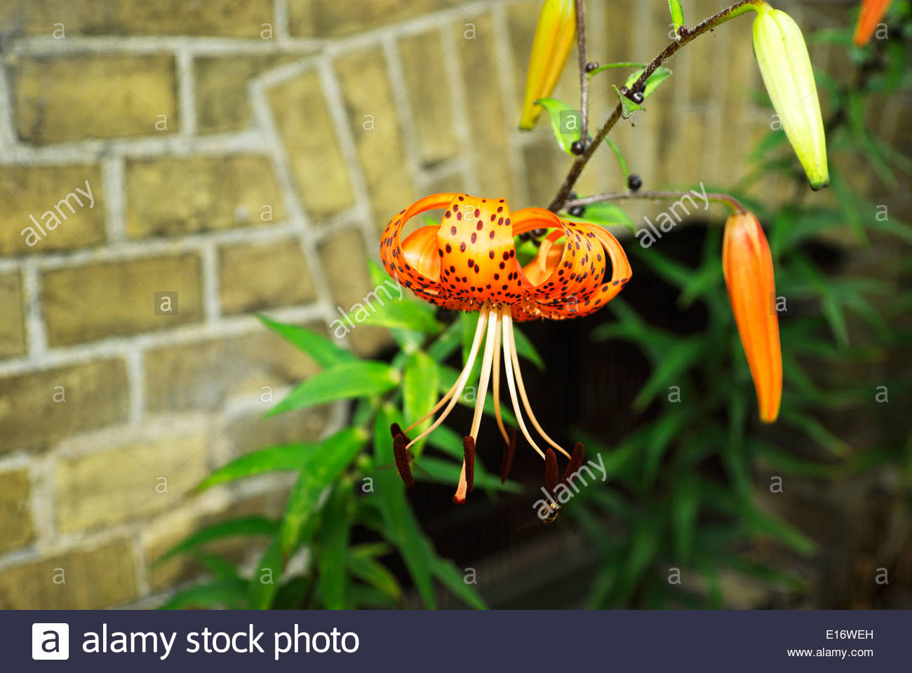 A bee works on an anther of a tiger lily flower growing beside a brick wall in Arnis, Germany, the country's smallest city. - Stock Image