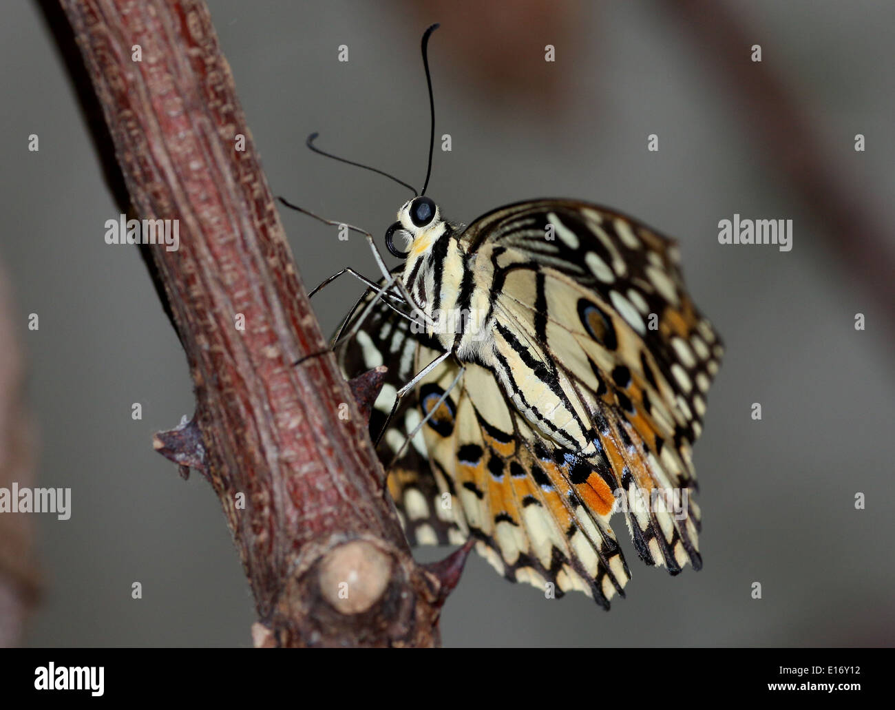 Common Lime Butterfly (Papilio demoleus) a.k.a. Lemon Butterfly, Chequered Swallowtail, Lime Swallowtail, Small Stock Photo