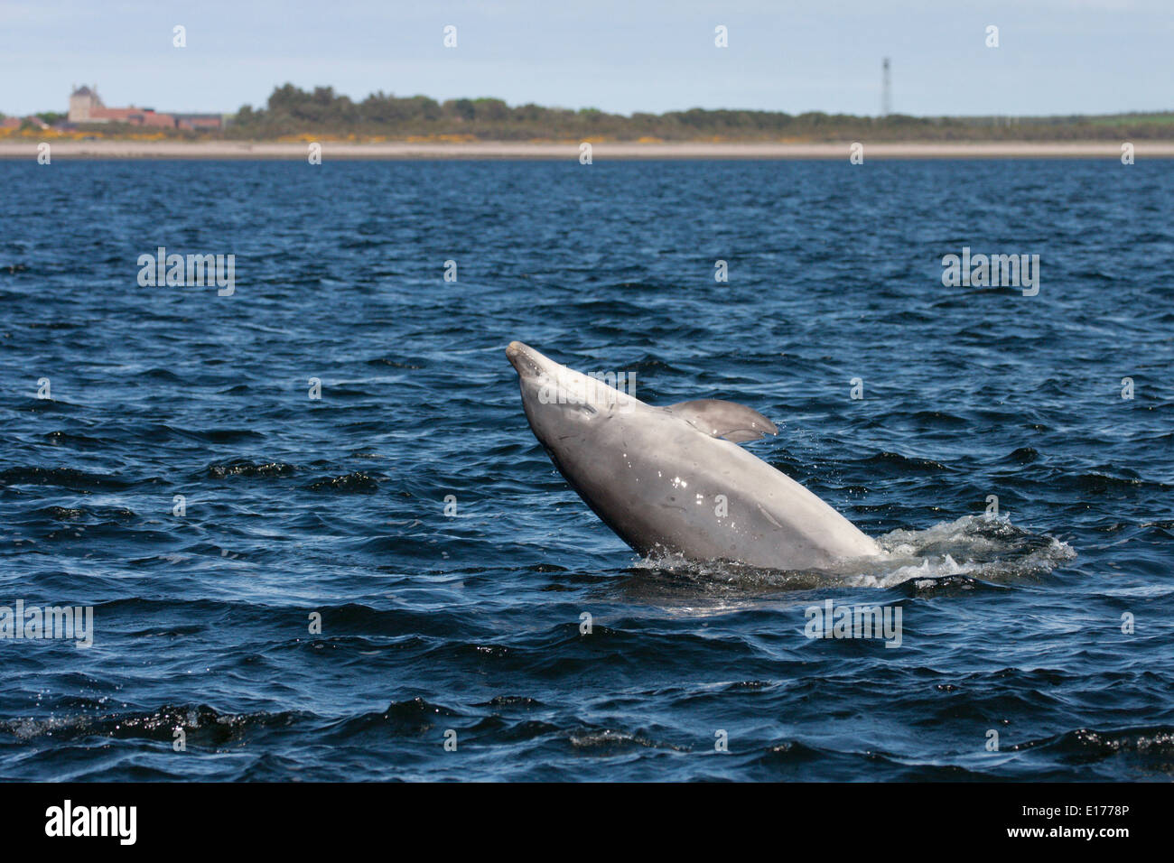 Bottlenose dolphin (Tursiops truncatus) breaching, jumping, leaping, Chanonry Point, Moray Firth, Scotland, UK - Stock Image