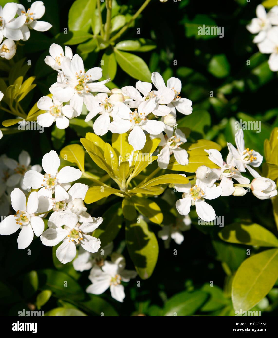 Garden shrub Choisya Worcester Worcestershire England UK - Stock Image