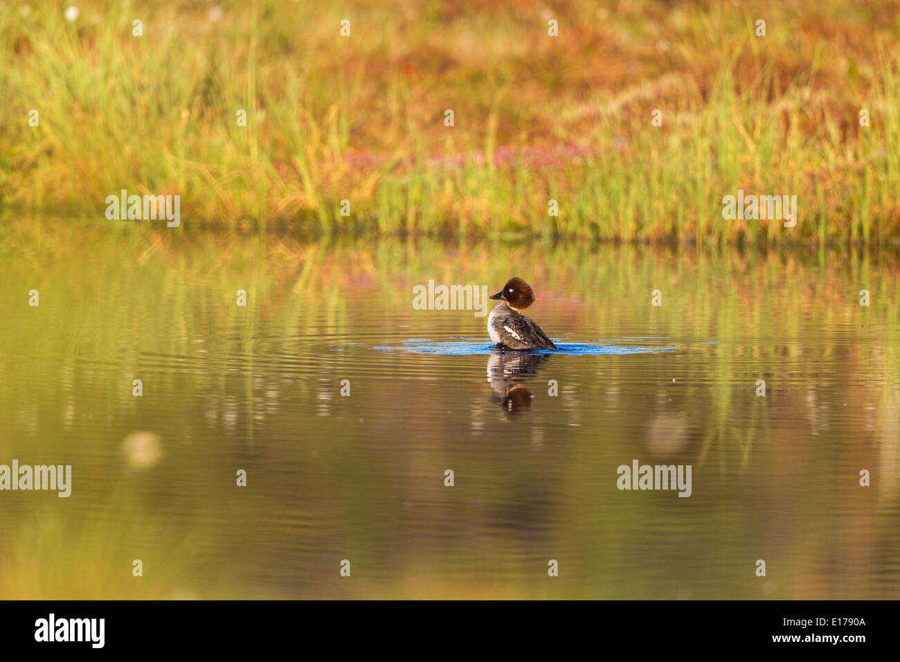 Goldeneye preening in the lake - Stock Image