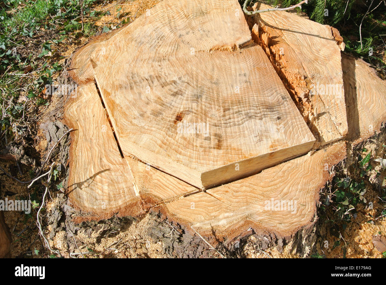 Tree stump cut by a chainsaw - Stock Image