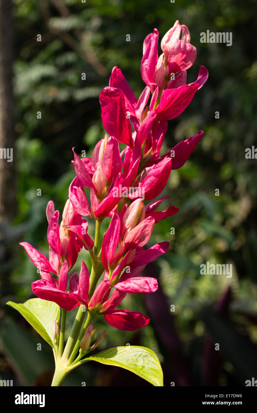 Pink bracts hide small white flowers in the infloresence of the Brazilian red cloak, Megaskepasma erythrochlamys - Stock Image
