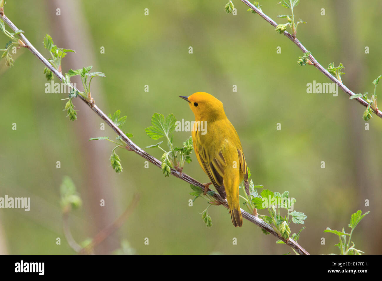Yellow warbler (Setophaga petechia) in full breeding plumage at Magee Marsh during the SPring migration. - Stock Image