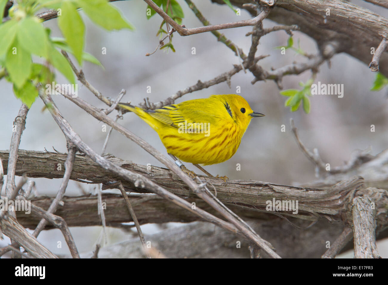 Male yellow warbler (Setophaga petechia) on tree branch, during the Spring migration, Magee Marsh, Ohio. - Stock Image