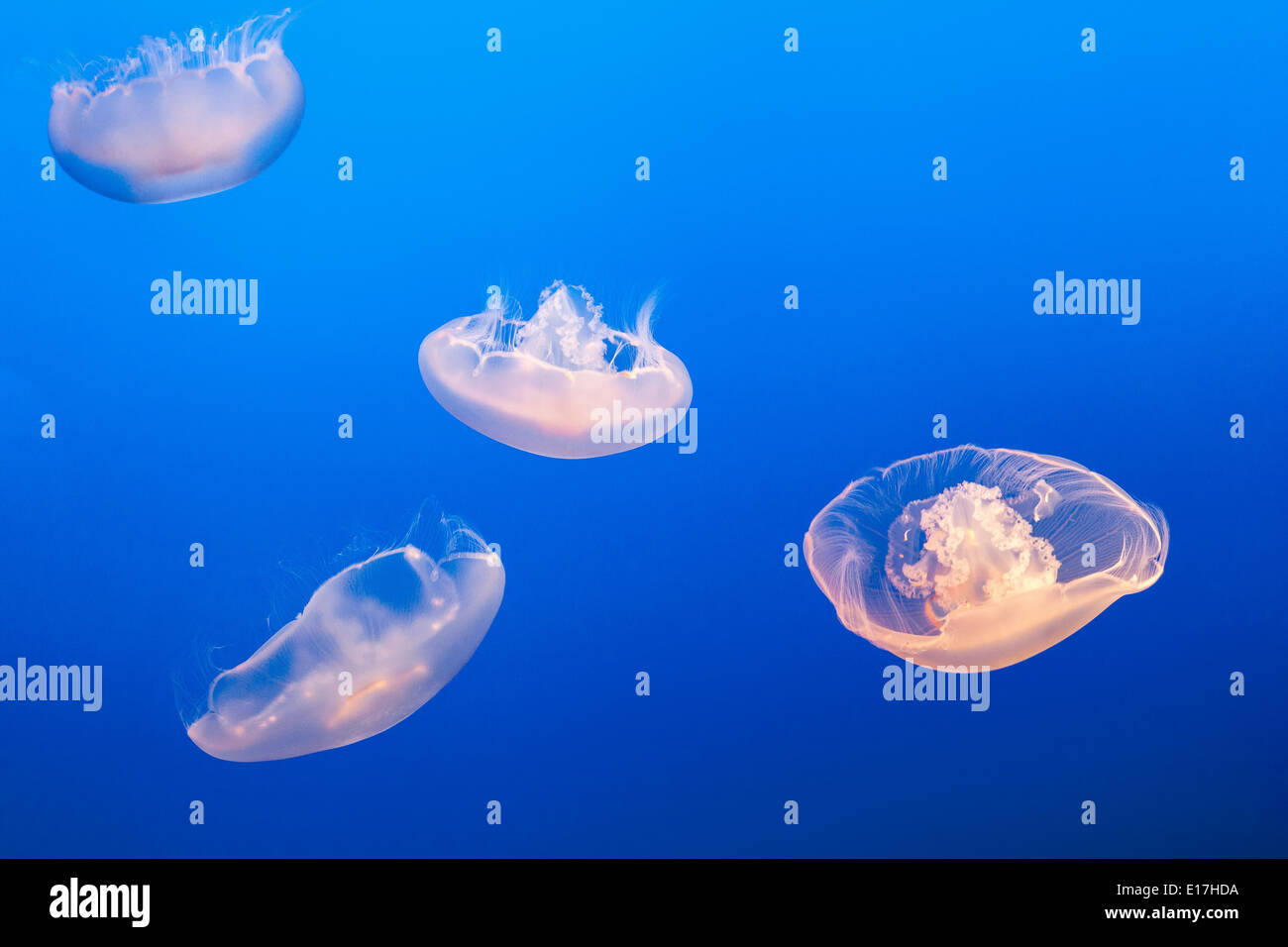 Moon Jellyfish or Moon, Saucer Jelly Aurelia Labiata Pacific Ocean Common Jelly Fish in Monterey Bay Aquarium California USA Stock Photo