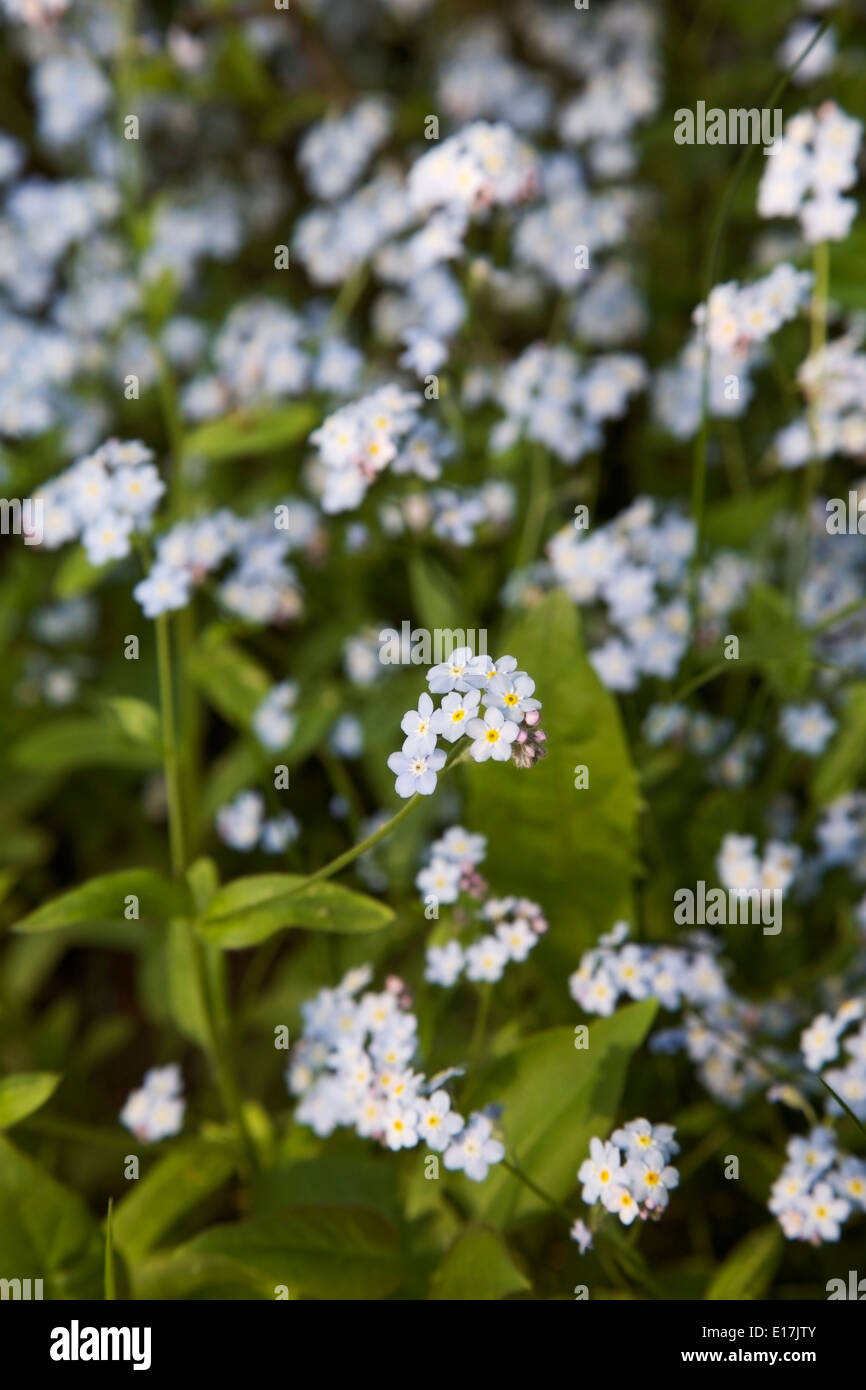 Small Blue Flowers Blooming In Spring In Finland Stock Photo