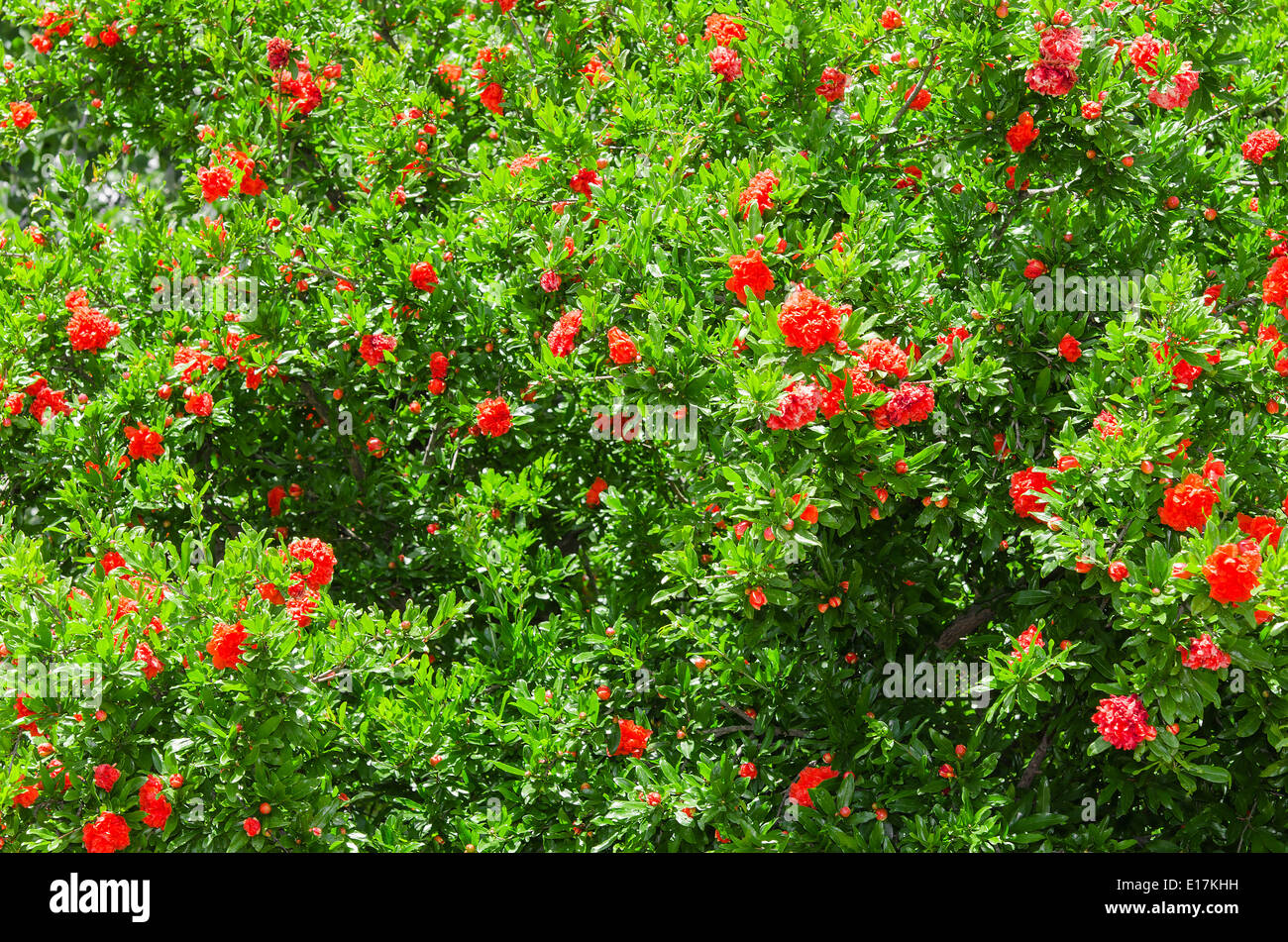 Spring Blooming Japanese Quince Bush With Vivid Red Flowers Stock