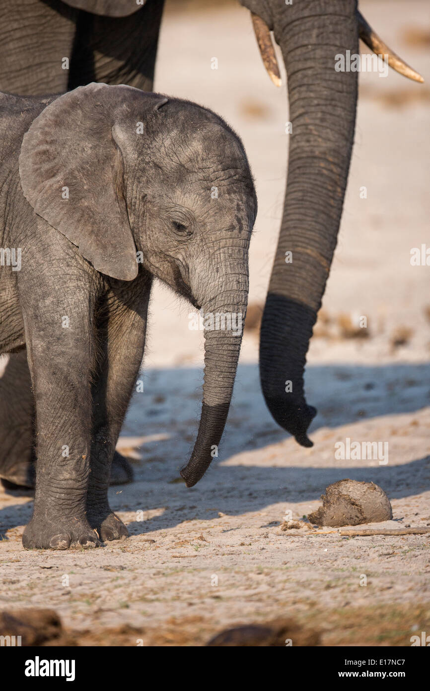 African elephant (Loxodonta africana)young calf and mother on the banks of the Chobe River.Chobe National Park.Botswana Stock Photo