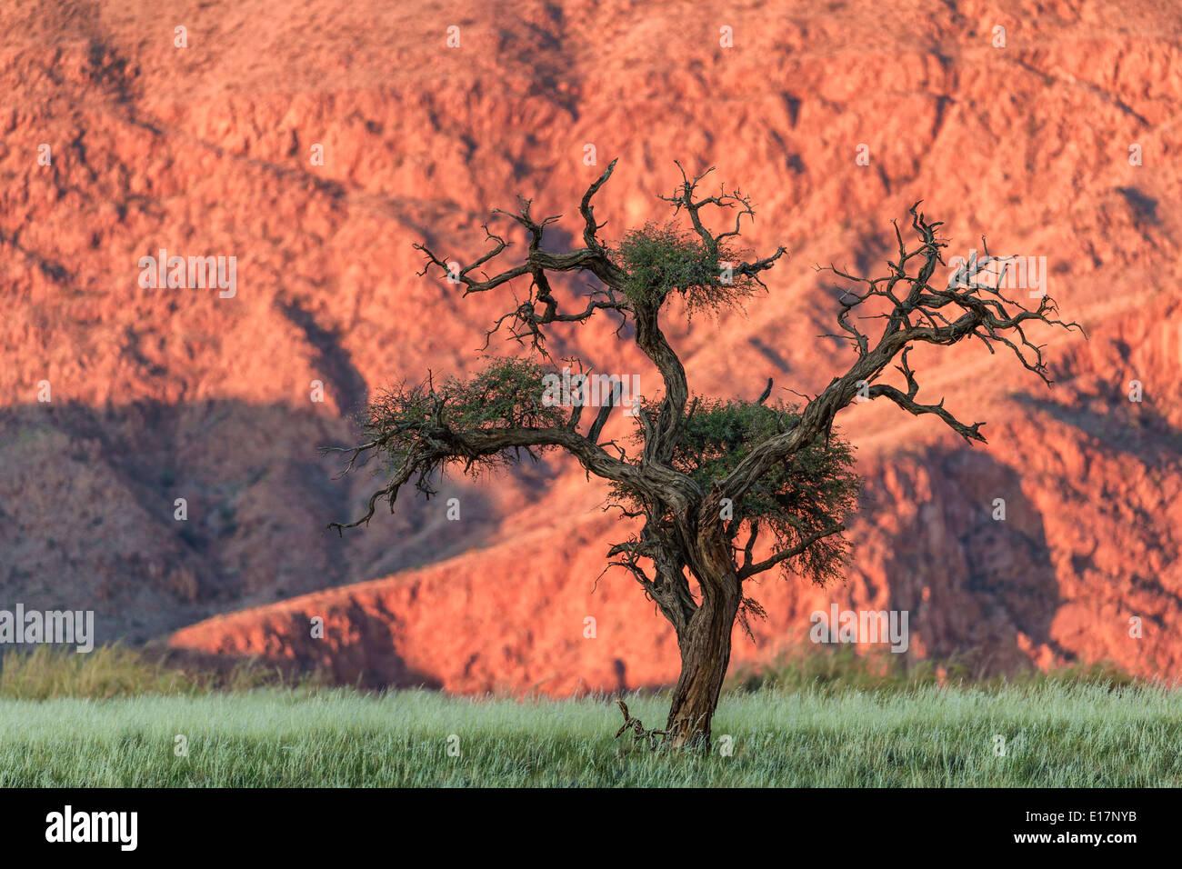 Acacia tree. NamibRand Nature Reserve.Namibia - Stock Image