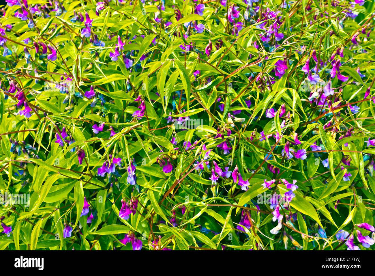 Spring pea Lathyrus vernus perennial flowering plant. - Stock Image