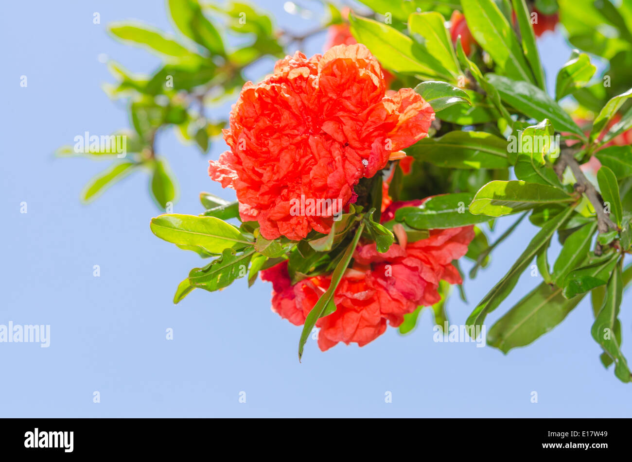 Vibrant red colored Japanese quince spring flowers on sunlit bush ...