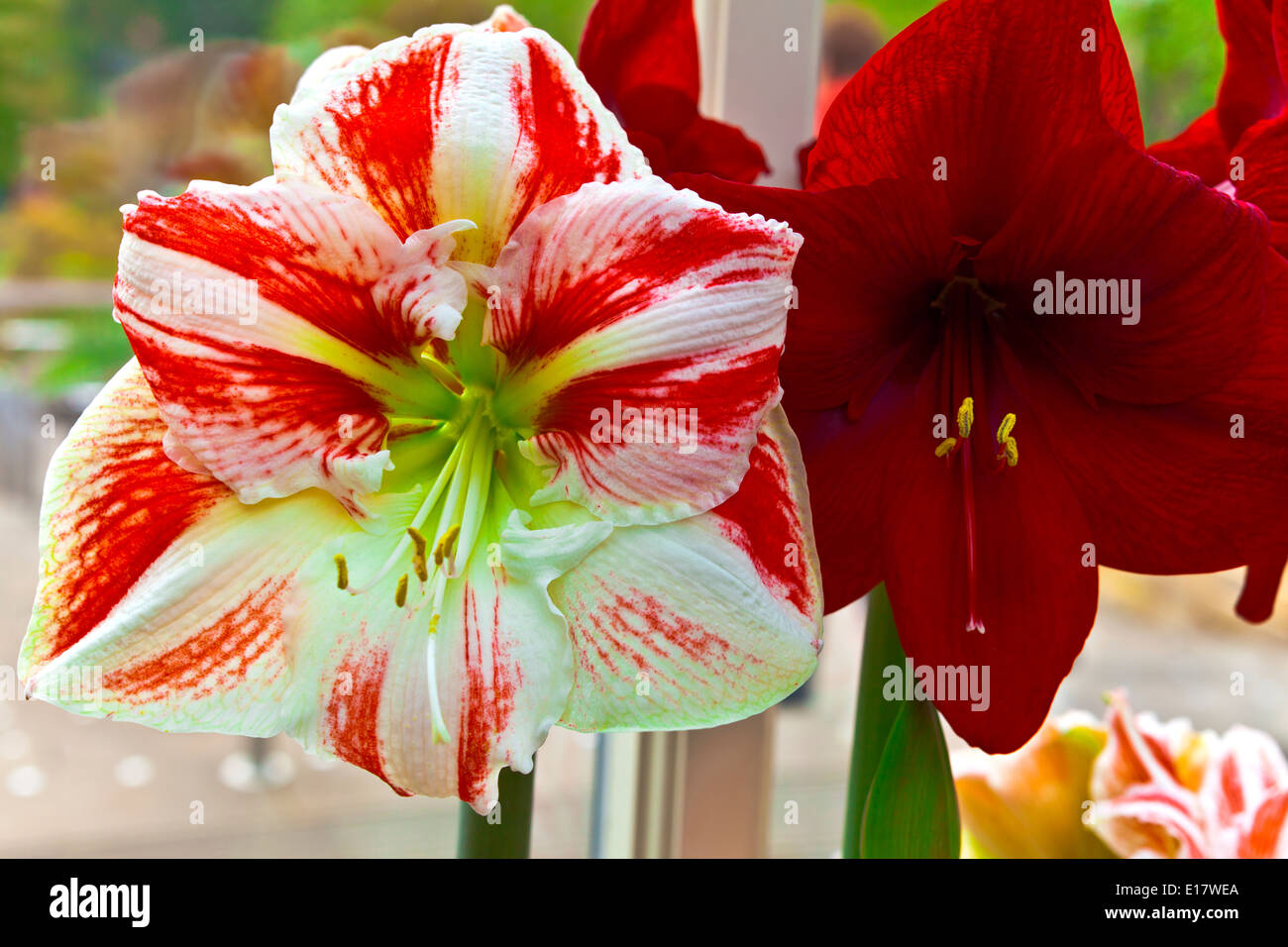 Duo of stripy pink and a red amaryllis close-up. Stock Photo
