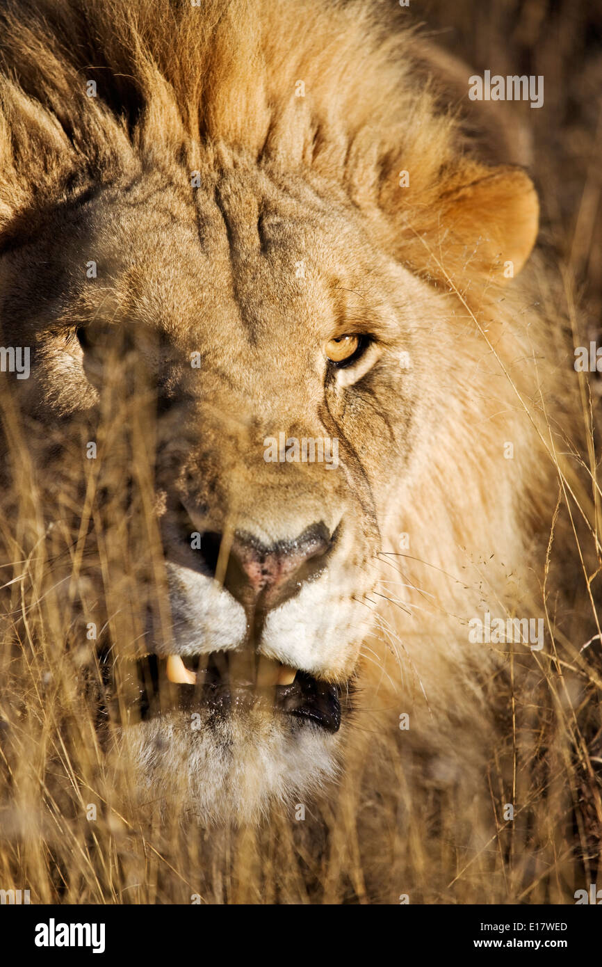 Snarling Male Lion (Panthera leo) in long grass. Namibia. - Stock Image