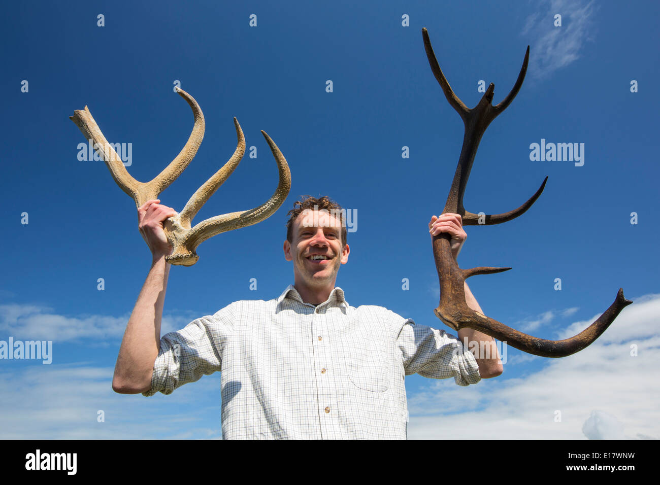 Antlers from an extinct deer revealed by storm damage on walney Island, Cumbria - Stock Image