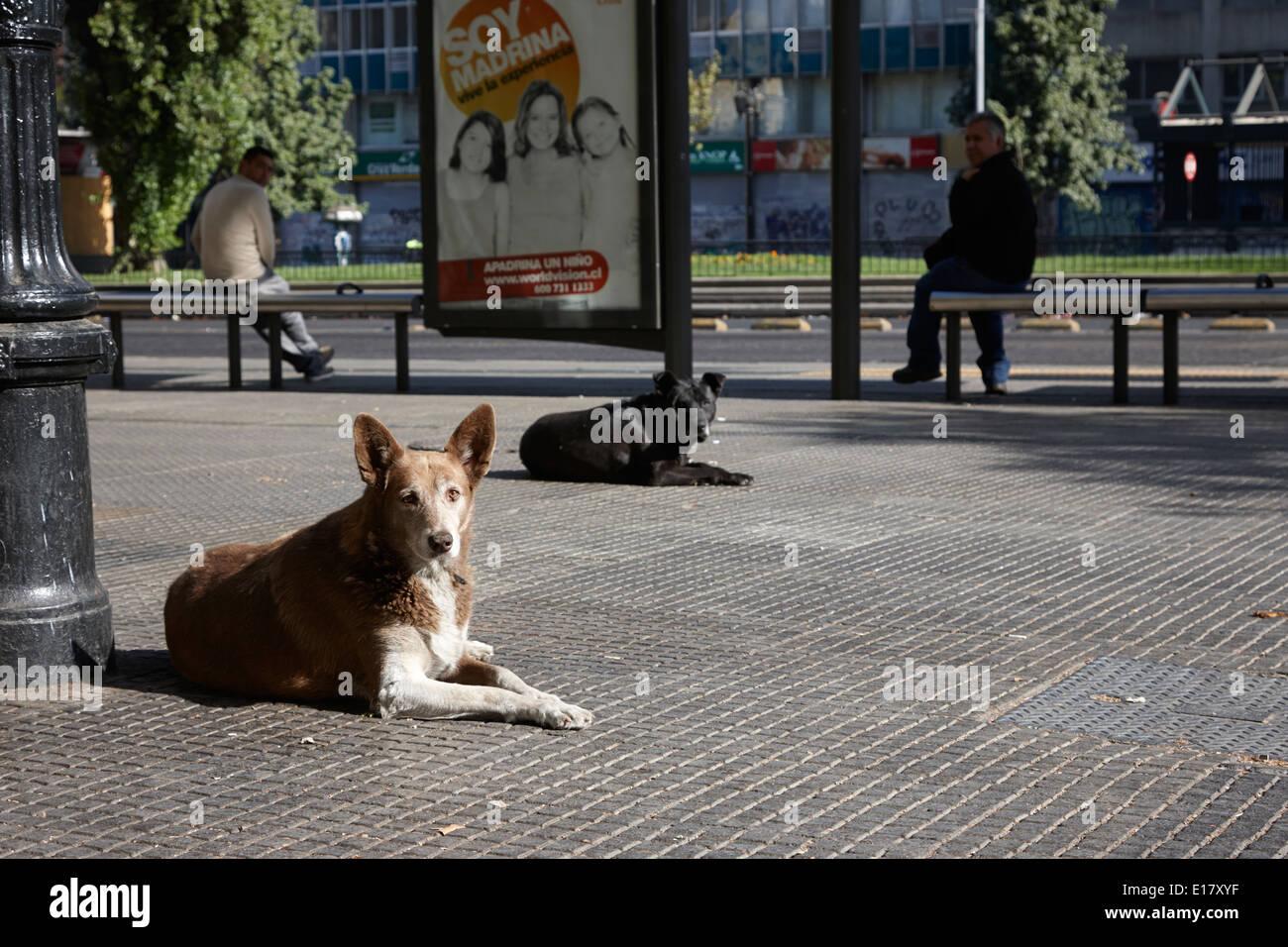 stray dogs lying on avenida libertador general bernado o'higgins downtown Santiago Chile Stock Photo