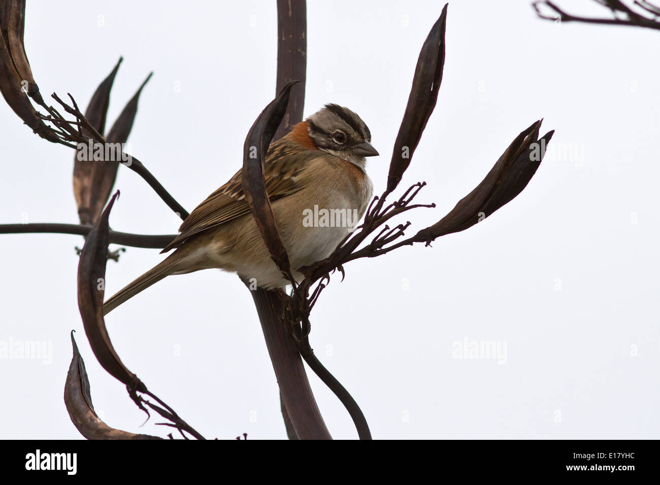 male Rufous-collared Sparrow sitting on a branch of a bush Stock Photo