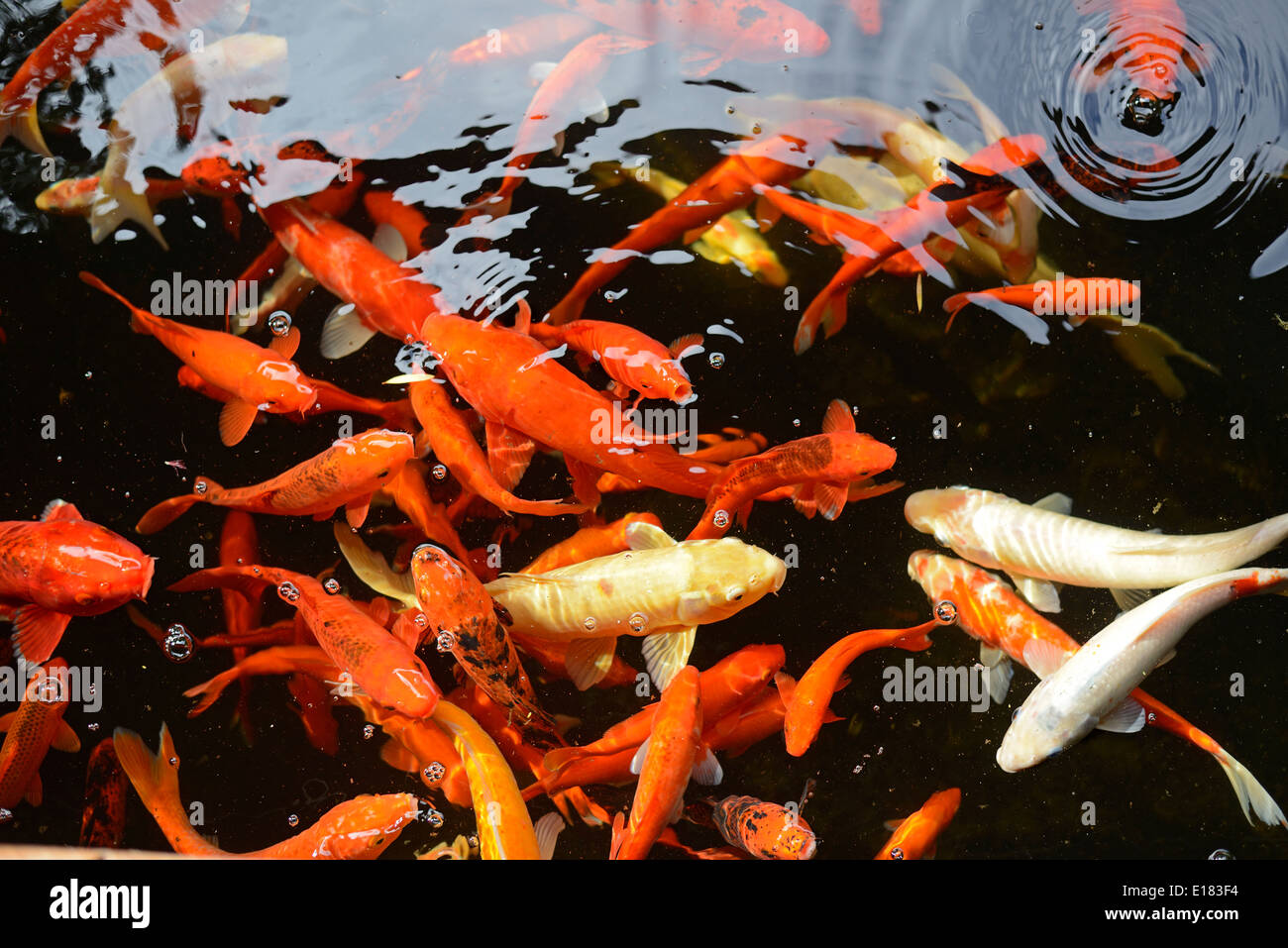 Gold Fish Pond Stock Photos & Gold Fish Pond Stock Images - Alamy