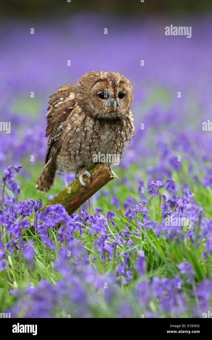 Tawny Owl, Strix aluco sitting in bluebells having a rouse - Stock Image