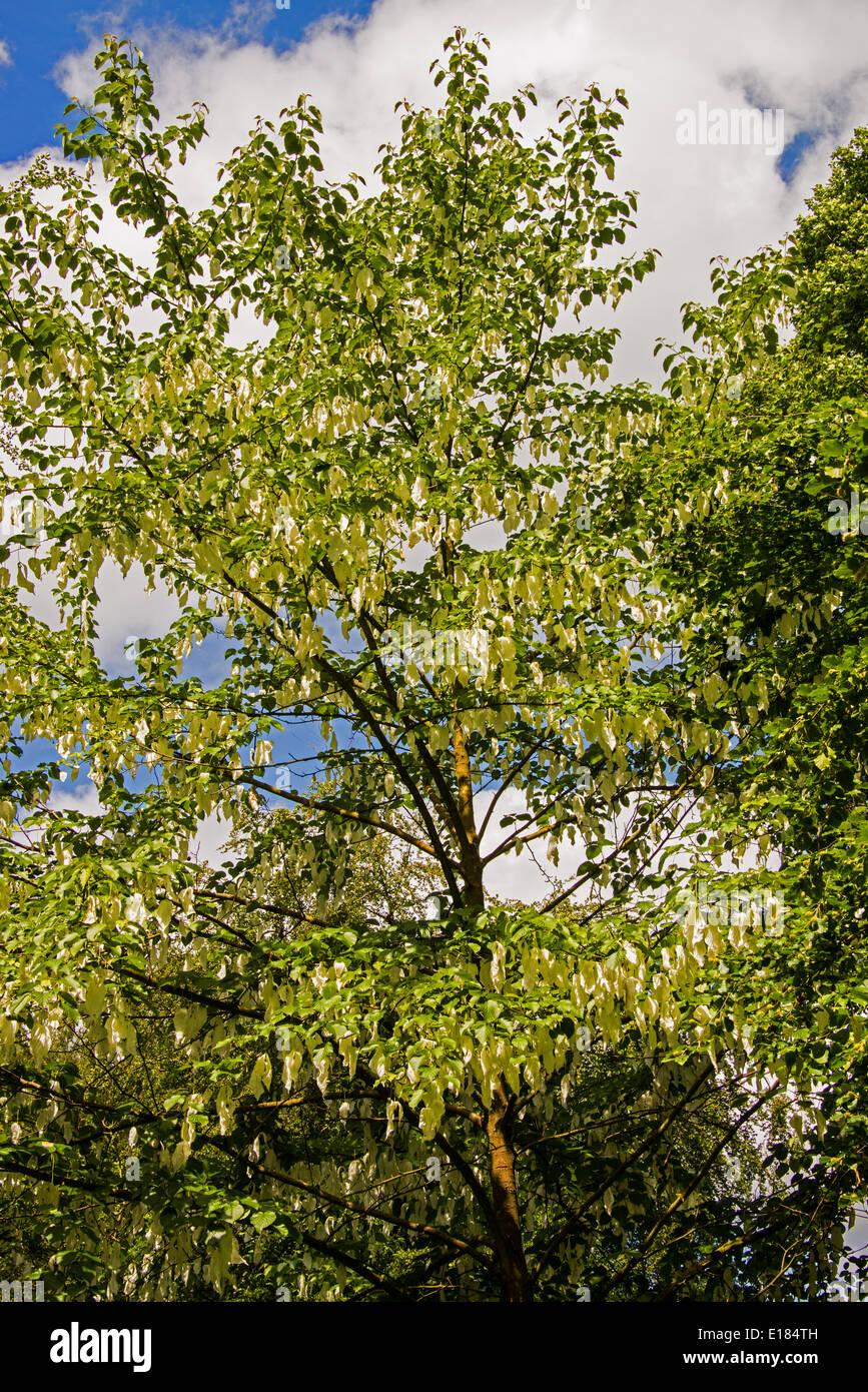 Davidia involucrata tree in bloom. Stock Photo