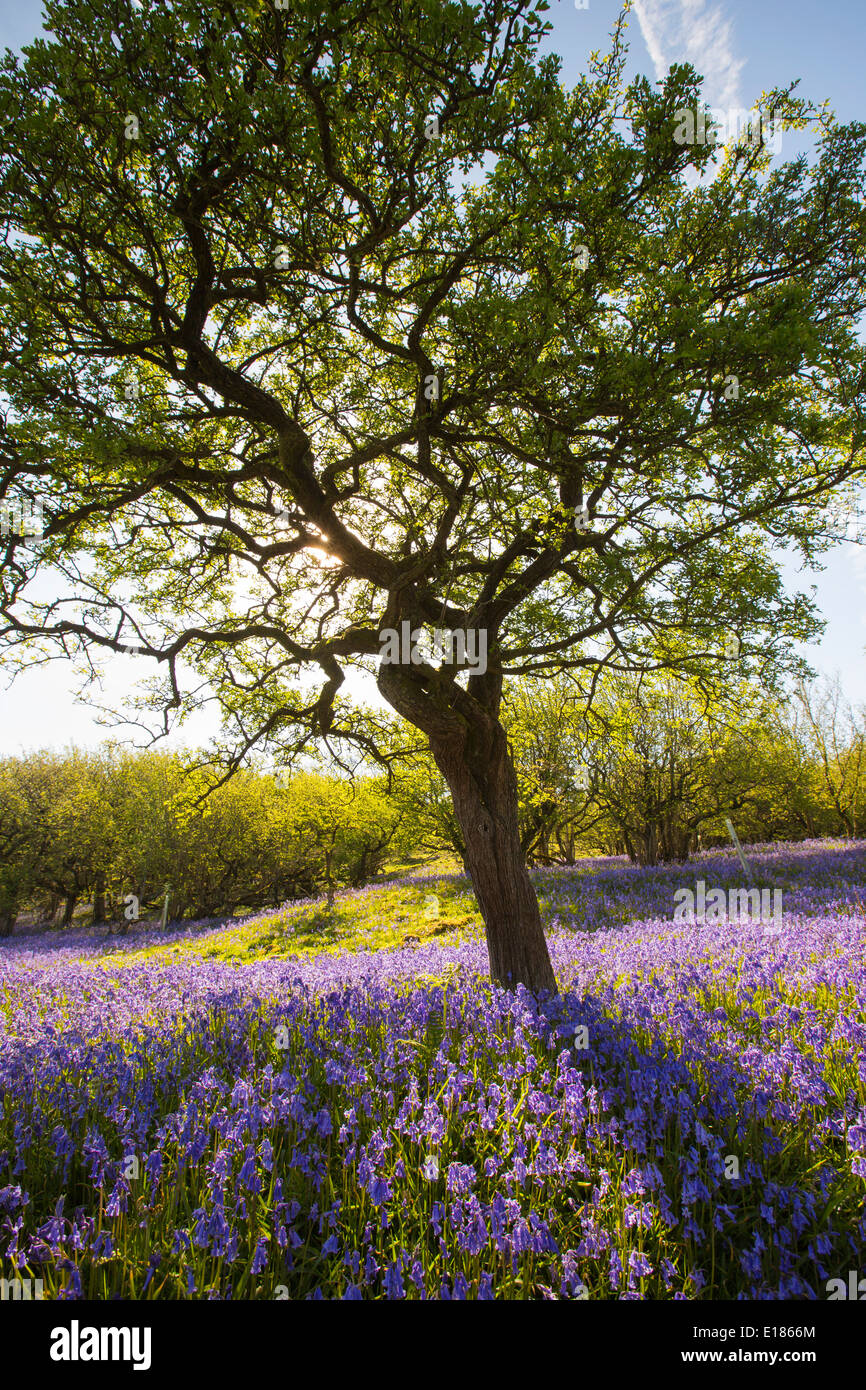 Bluebells and a Hawthorn tree growing on a limestone hill in the Yorkshire Dales National Park, UK. - Stock Image