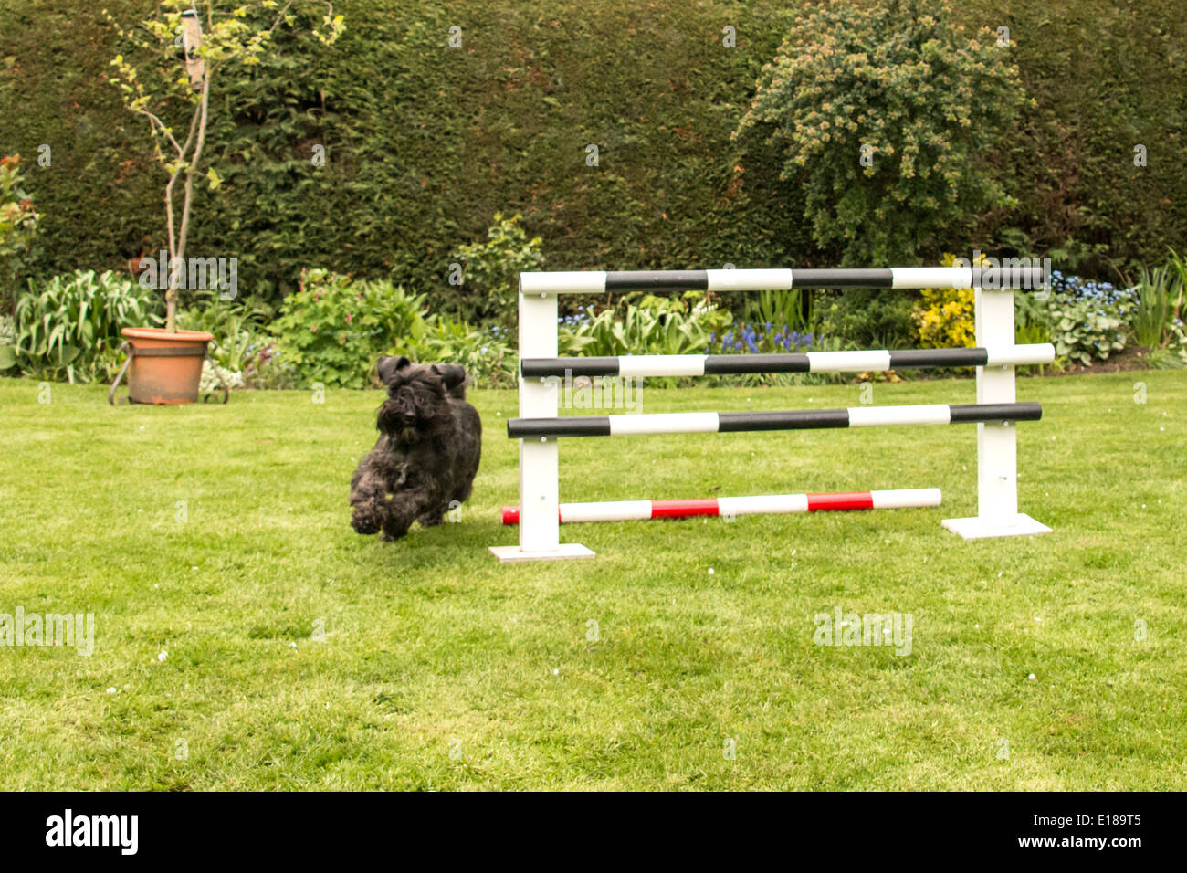Black Schnauzer dog practicing agility/jumping in the garden dodging the jump(2 of 4 ) - Stock Image