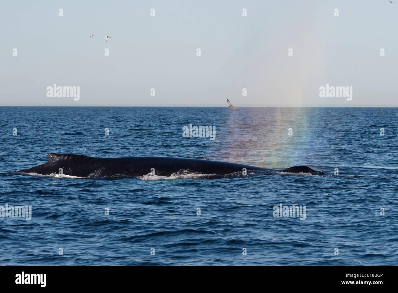 Humpback Whale (Megaptera novaeangliae) rain-blow. Monterey, California, Pacific Ocean. - Stock Image