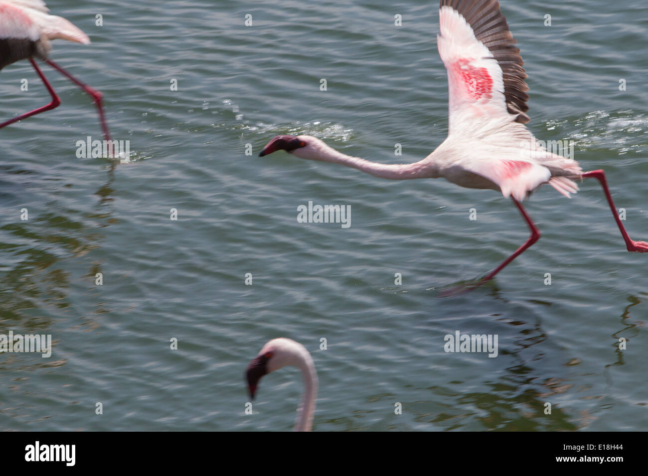 Flamingos in flight at Arusha National Park, Tanzania, East Africa. - Stock Image