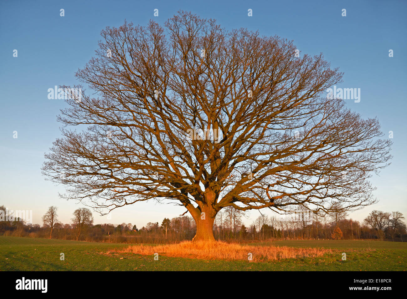Big old oak tree (common oak, English oak, Quercus robur) with leafless branches against a blue winter afternoon Stock Photo