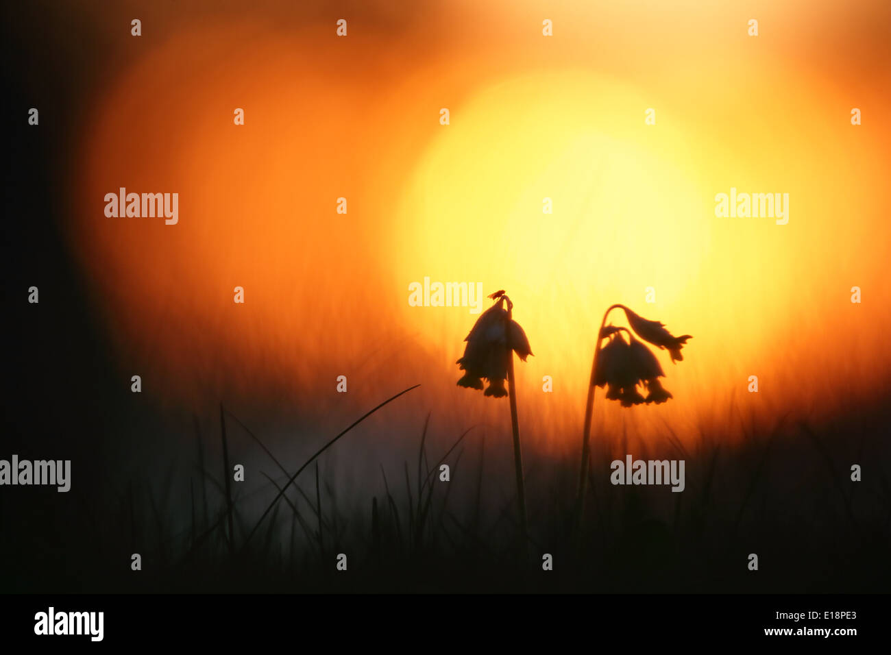 Wild Cowslips (Primula veris) at sunset Stock Photo