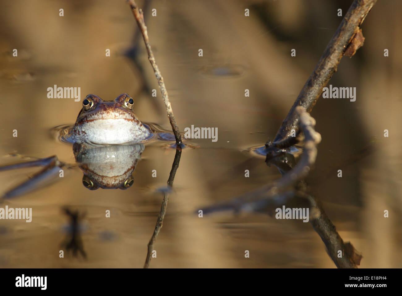 Common frog (Rana temporaria) in spring. - Stock Image