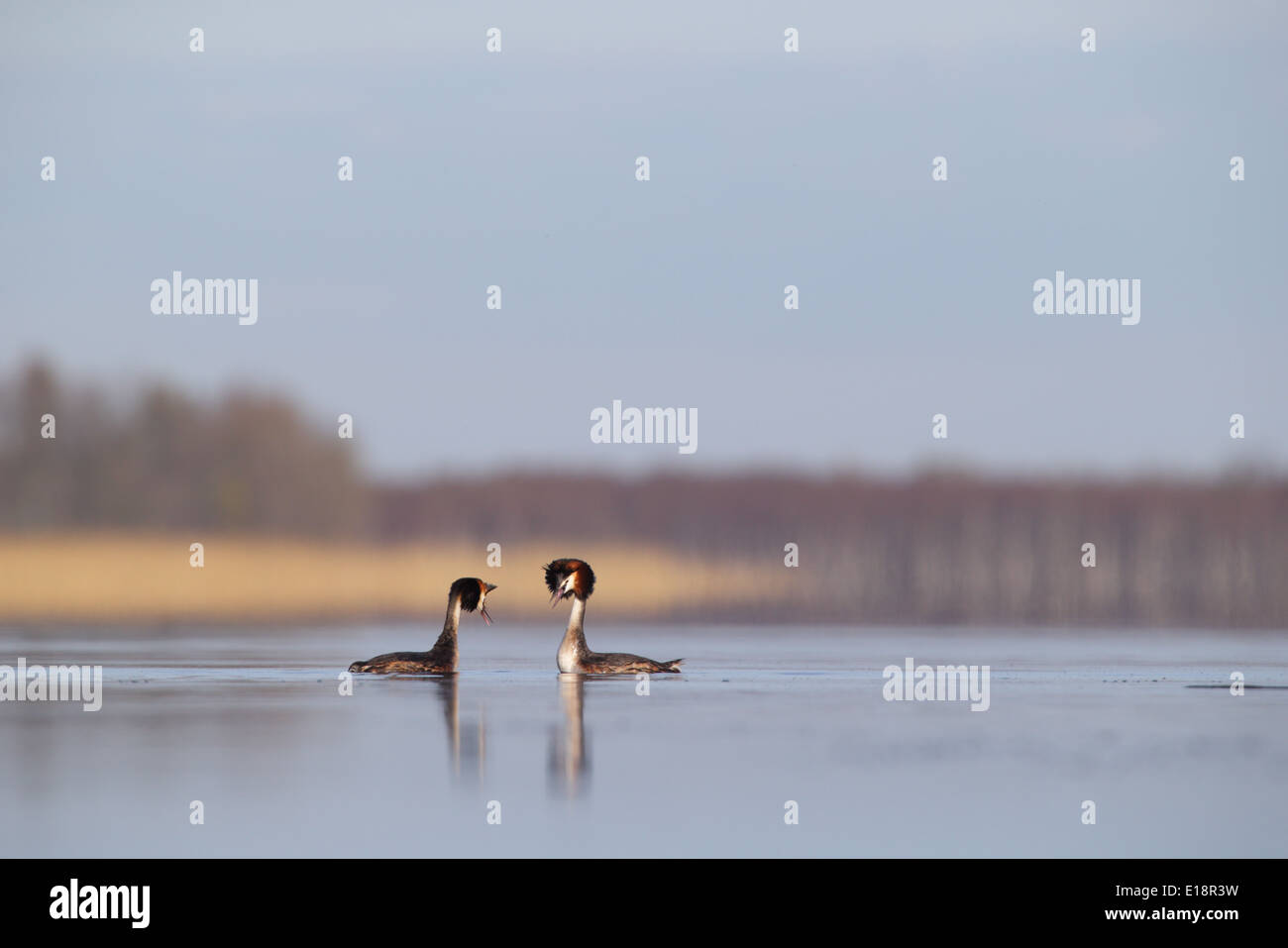 Courting Great Crested Grebes (Podiceps cristatus) - Stock Image