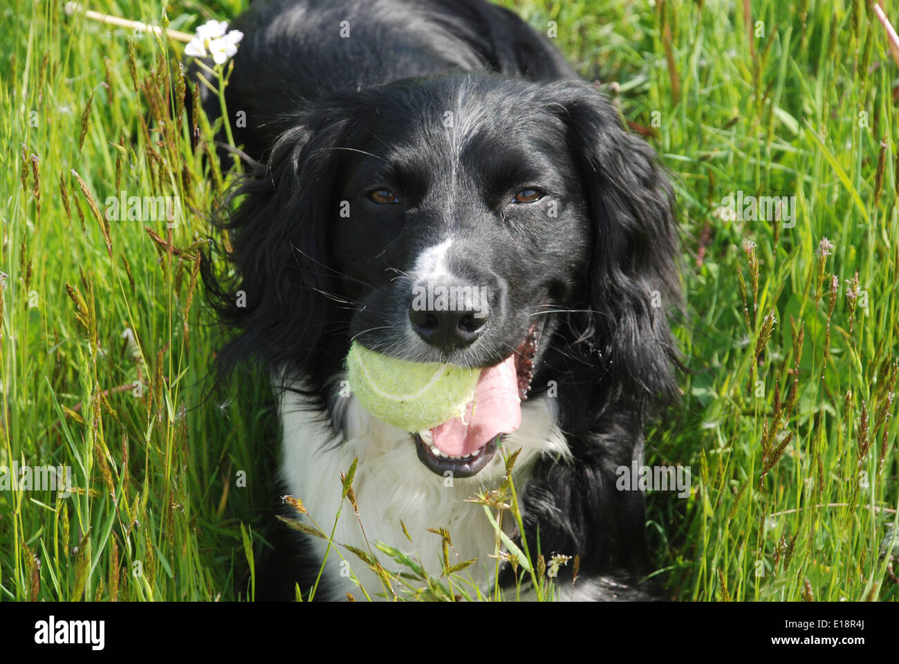 Oscar resting in a meadow with a tennis ball. He is a cross between a border collie and a springer spaniel, a sprollie! - Stock Image