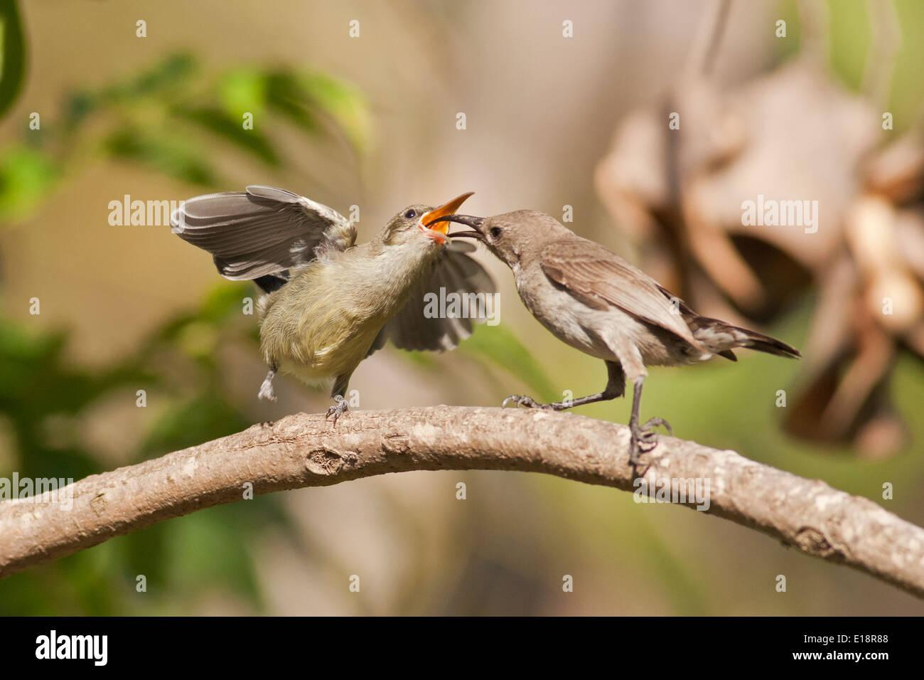 Female Palestine Sunbird or Northern Orange-tufted Sunbird (Cinnyris oseus) feeds a young hatchling. - Stock Image