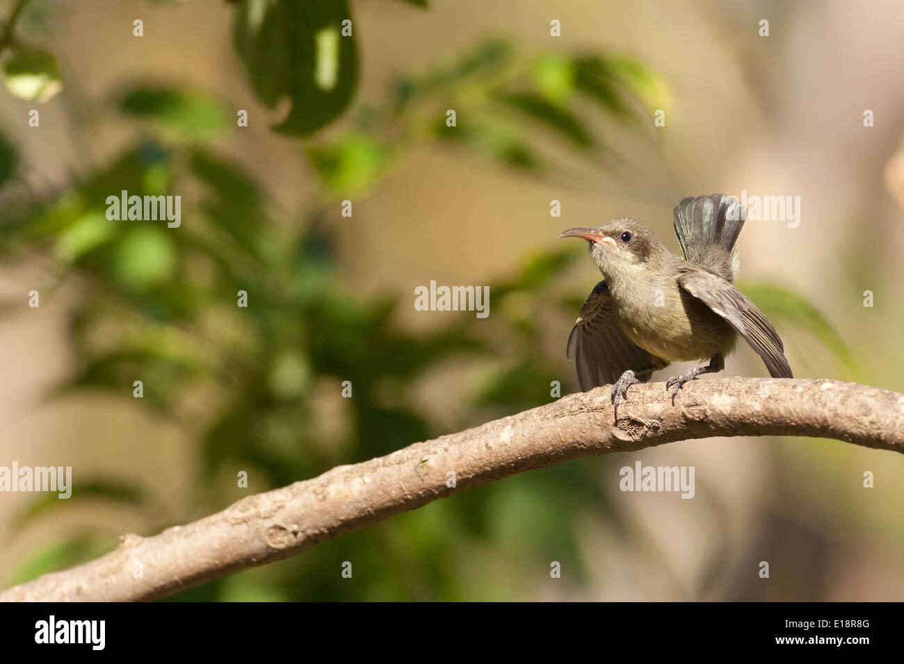 young Palestine Sunbird or Northern Orange-tufted Sunbird hatchling (Cinnyris oseus) - Stock Image
