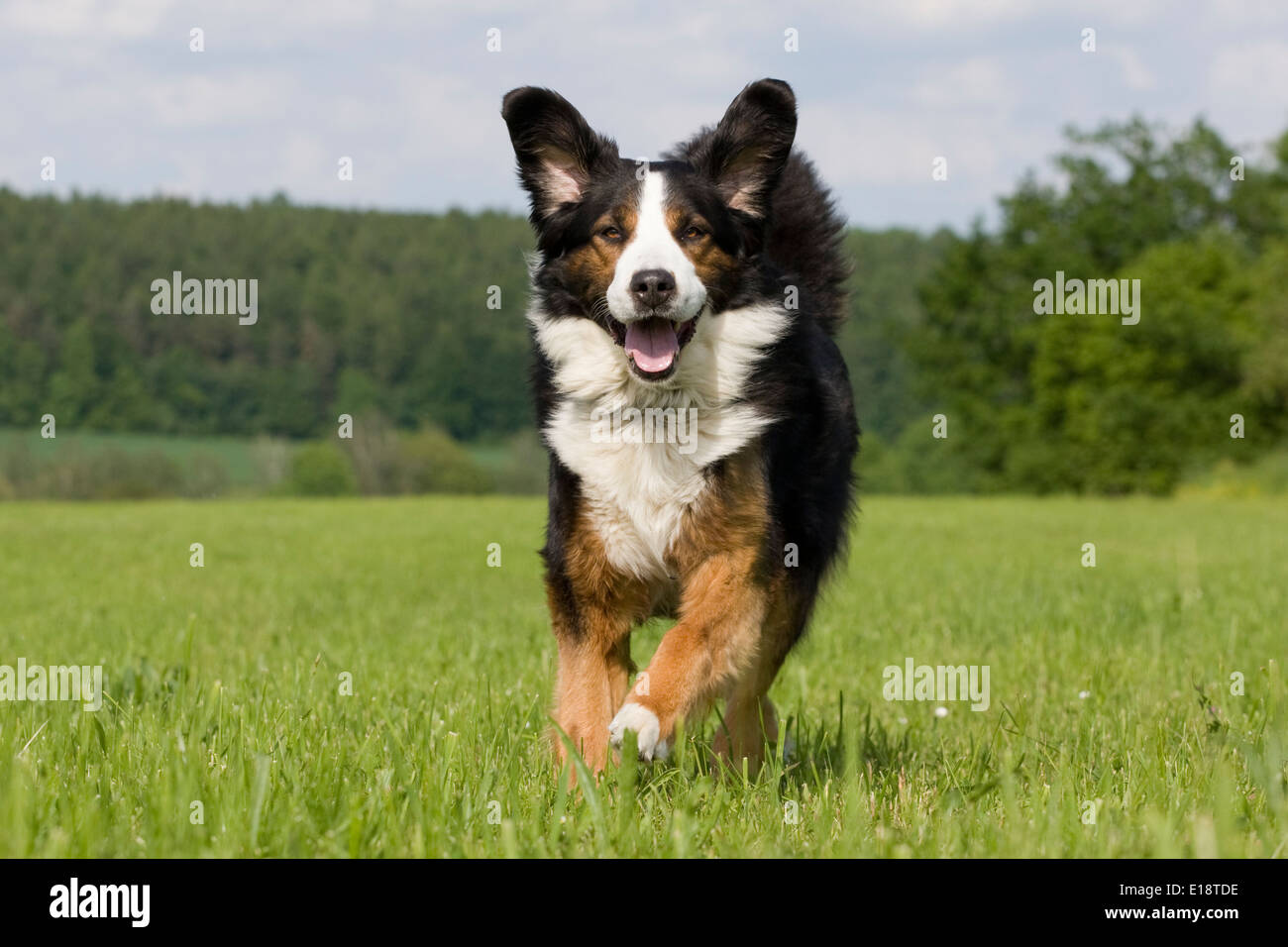 Bernese Mountain dog runs, jumps over a meadow Stock Photo