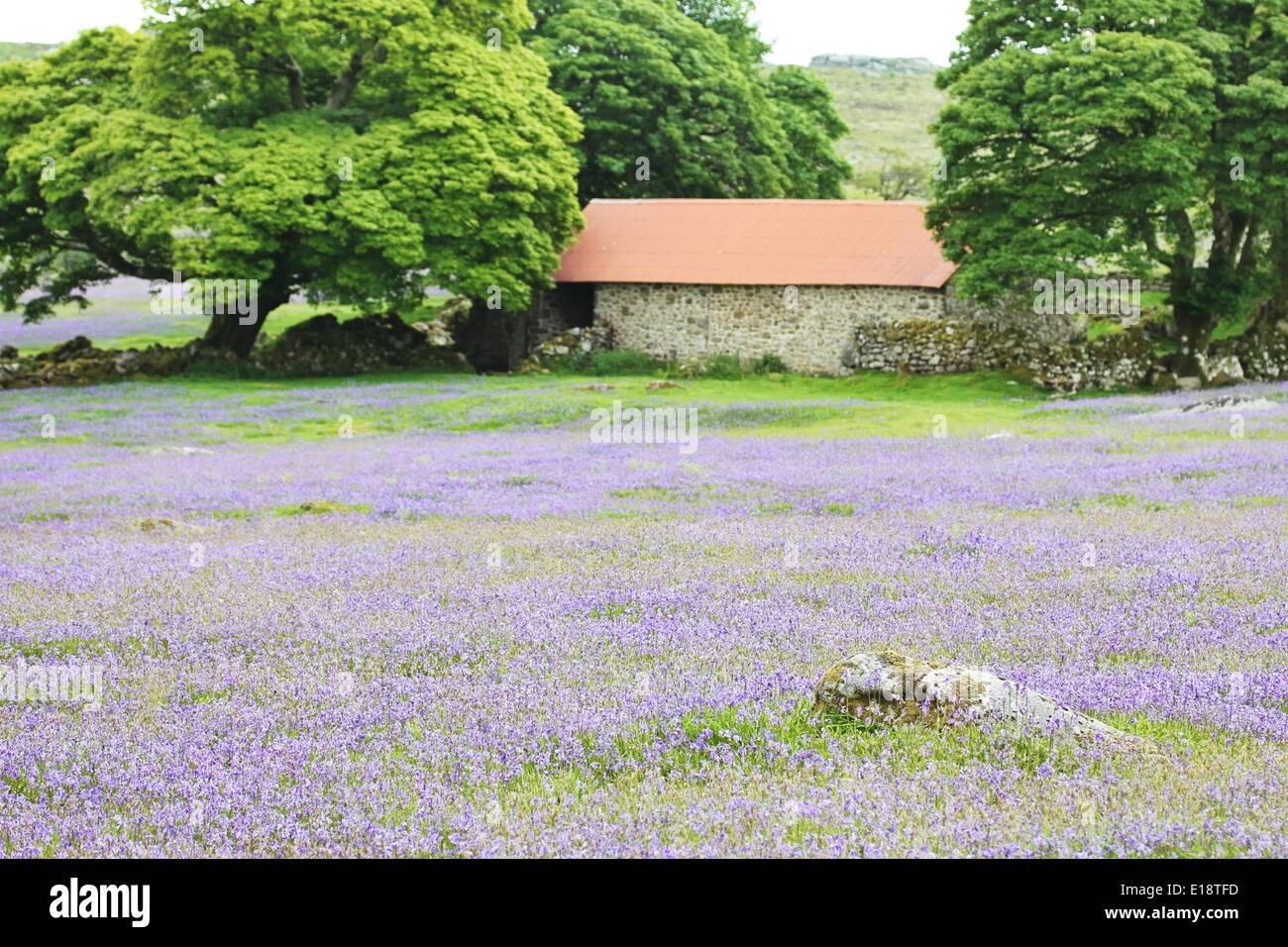 Emsworthy Mire, Dartmoor, Devon, UK. 27th May 2014. Fields of bluebells in full bloom at Emsworthy Mire on Dartmoor. Credit: nidpor/Alamy Live News - Stock Image