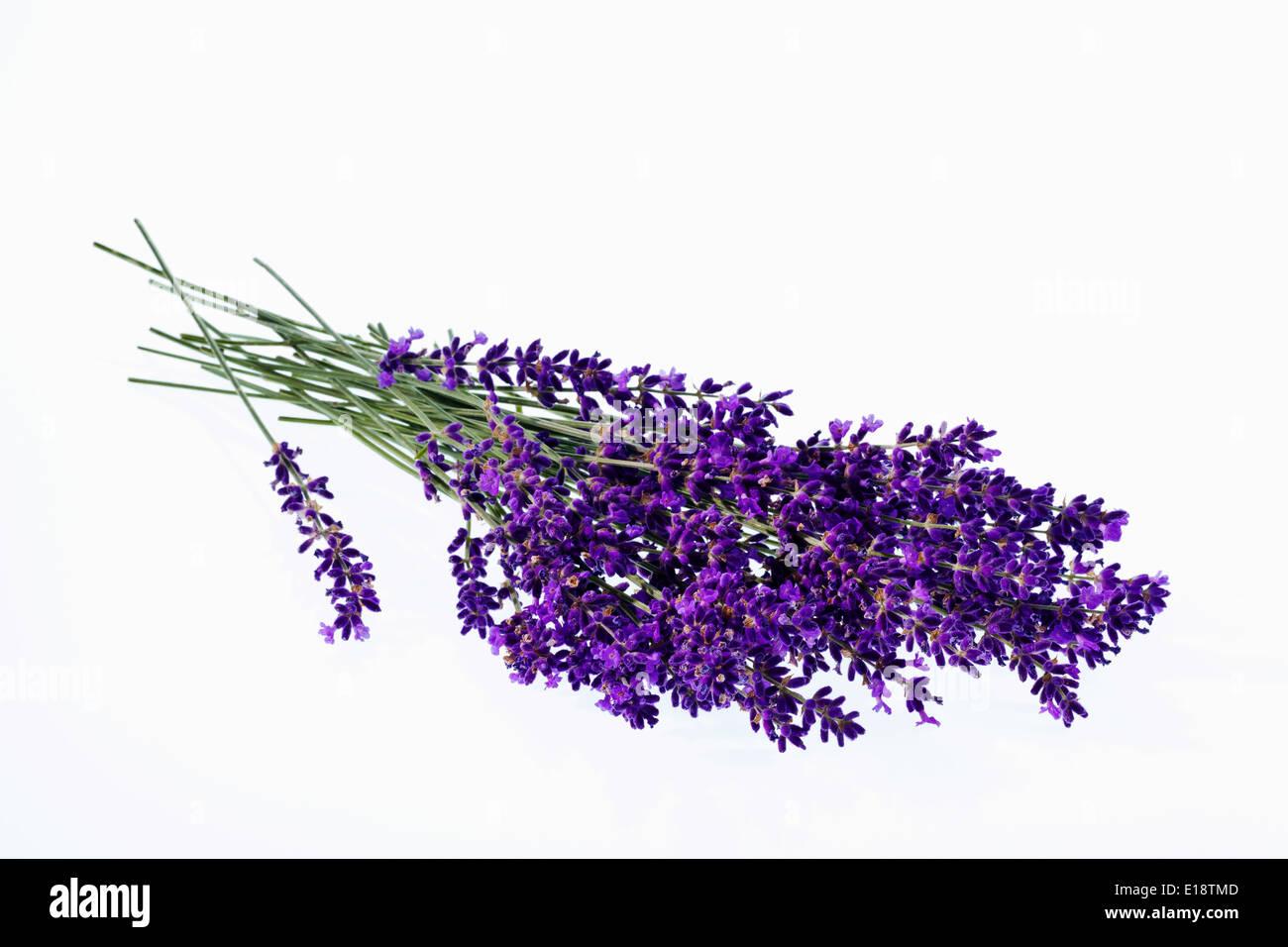 Lavendel Blüten isoliert vor weißem Hintergrund. Lila Sommerblumen. - Stock Image