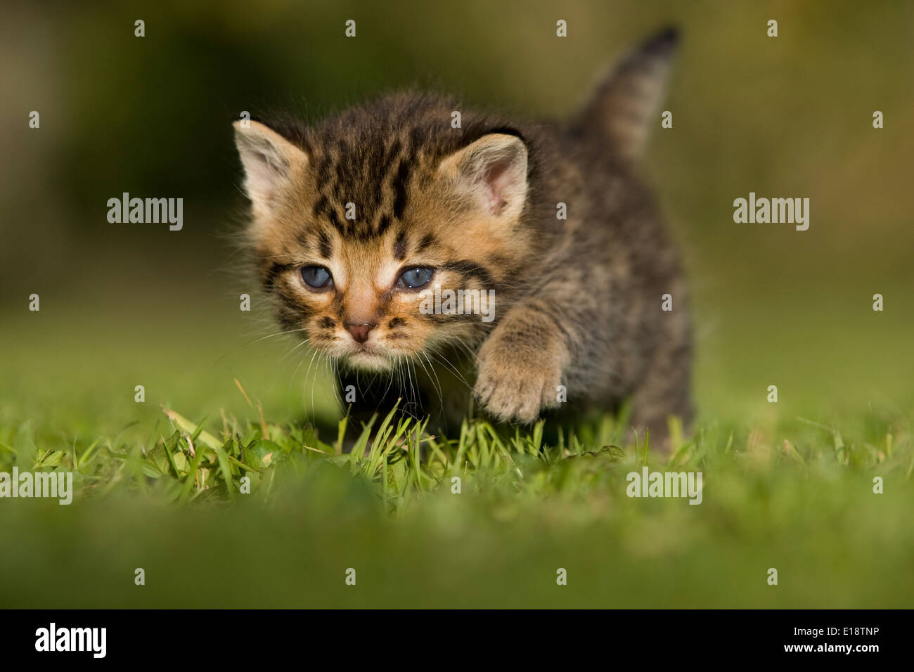 Cat, kitten, 3 weeks old goes over meadow - Stock Image